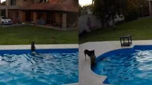 Una perrita evita que su amiga, ciega y sorda, se ahogara tras caer a una piscina (VIDEO)
