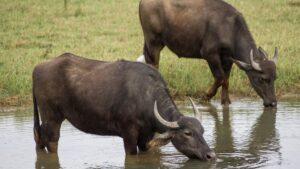 Impactante video: Manada de búfalos atacan a un leopardo para salvar a una cría