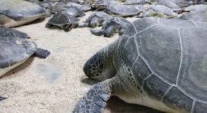 Rescatan a más de 140 tortugas con hipotermia en Tamaulipas