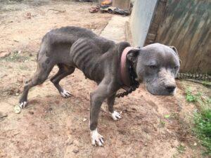 Laredo, Texas: Arrestan a mujer por maltratar a sus perros; los deja afuera