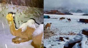 Fuerte nevada sorprende a camellos en el caliente desierto de Arabia Saudita VIDEOS