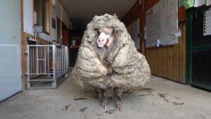 Encuentran oveja salvaje con más de 30 kilos de lana; estaba a punto de morir