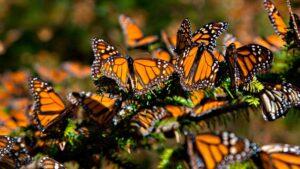 Disminuye población de mariposa Monarca en santuarios de México