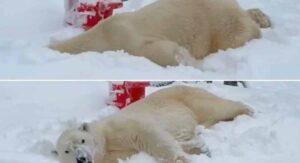 Captan a oso en zoológico disfrutando plenamente de la nieve; VIDEO se hace viral