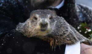 'Phil', la marmota que predice un largo invierno este 2021 (VIDEO)
