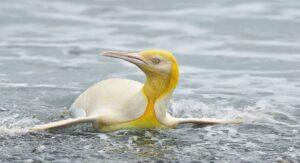 VIRAL: Captan a sorprendente pingüino amarillo
