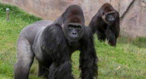 Vacunan a gorilas contra el Coronavirus en el zoológico de San Diego, California